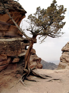 Picture of a tree shaped by its environment - osteopathic analogy to our body been shaped by our lives.
